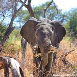 Tarangire National Park, terra d'elefants i baobabs