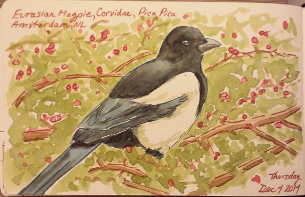 Eurasian Magpie, Corvidae, Pica Pica. Watercolour  ink, Moleskine journal.