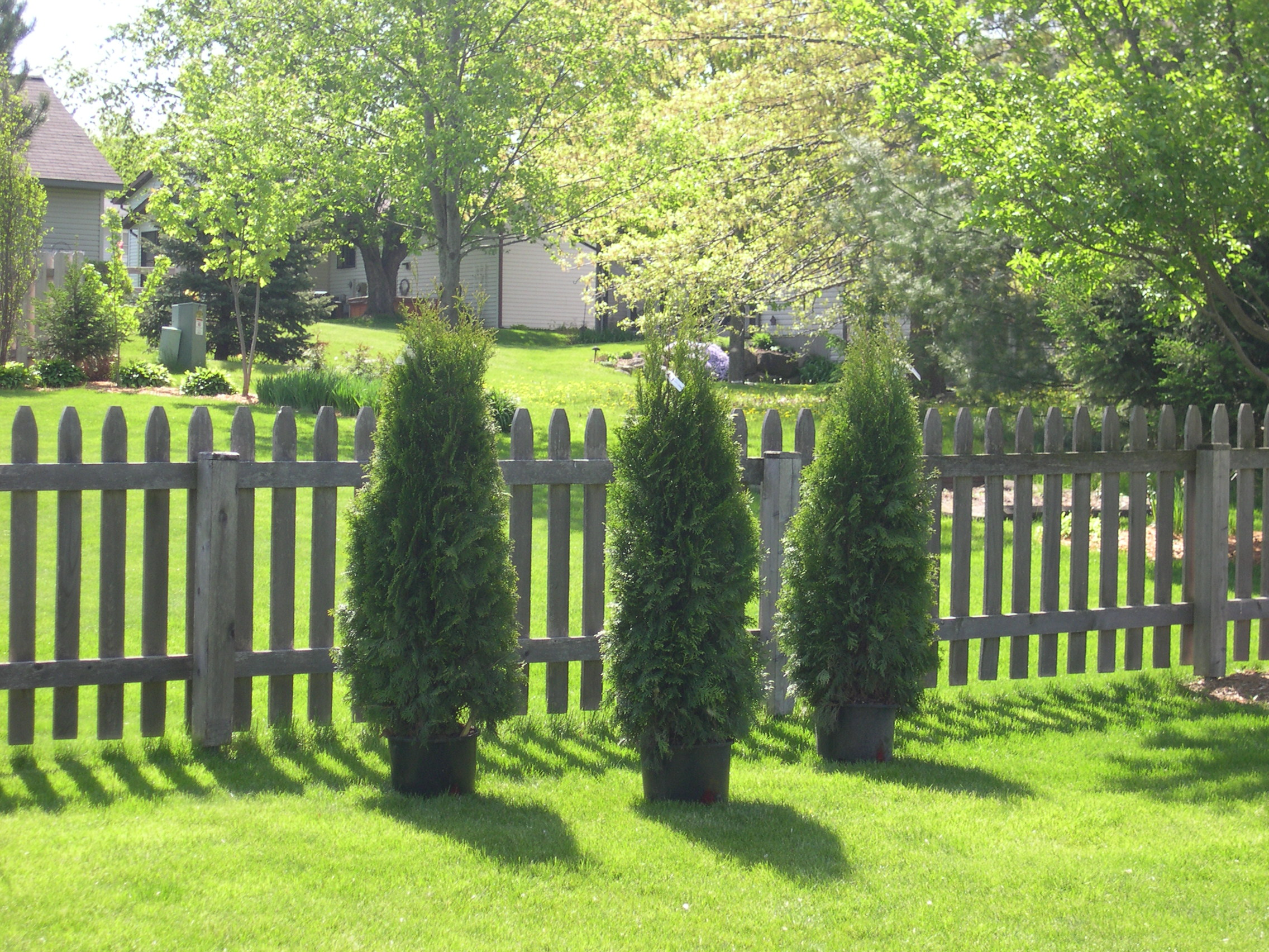 new emerald Arbor Vitae trees