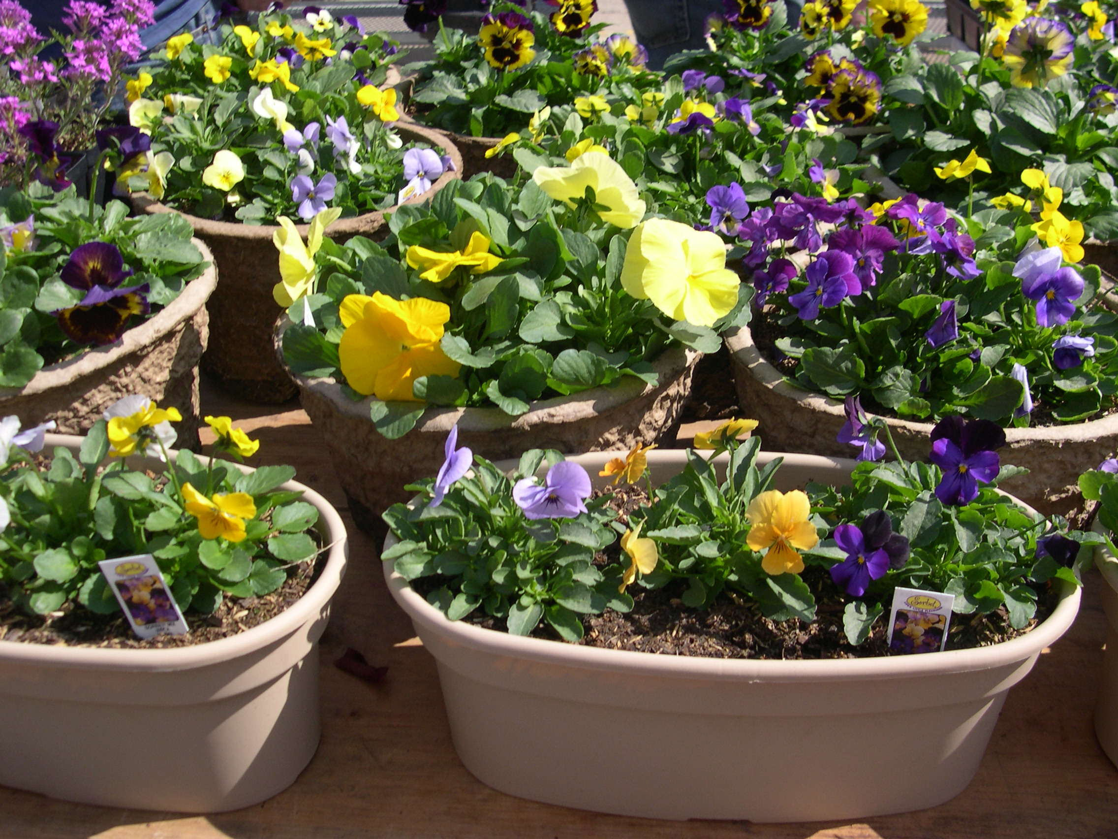 pansy baskets for sale