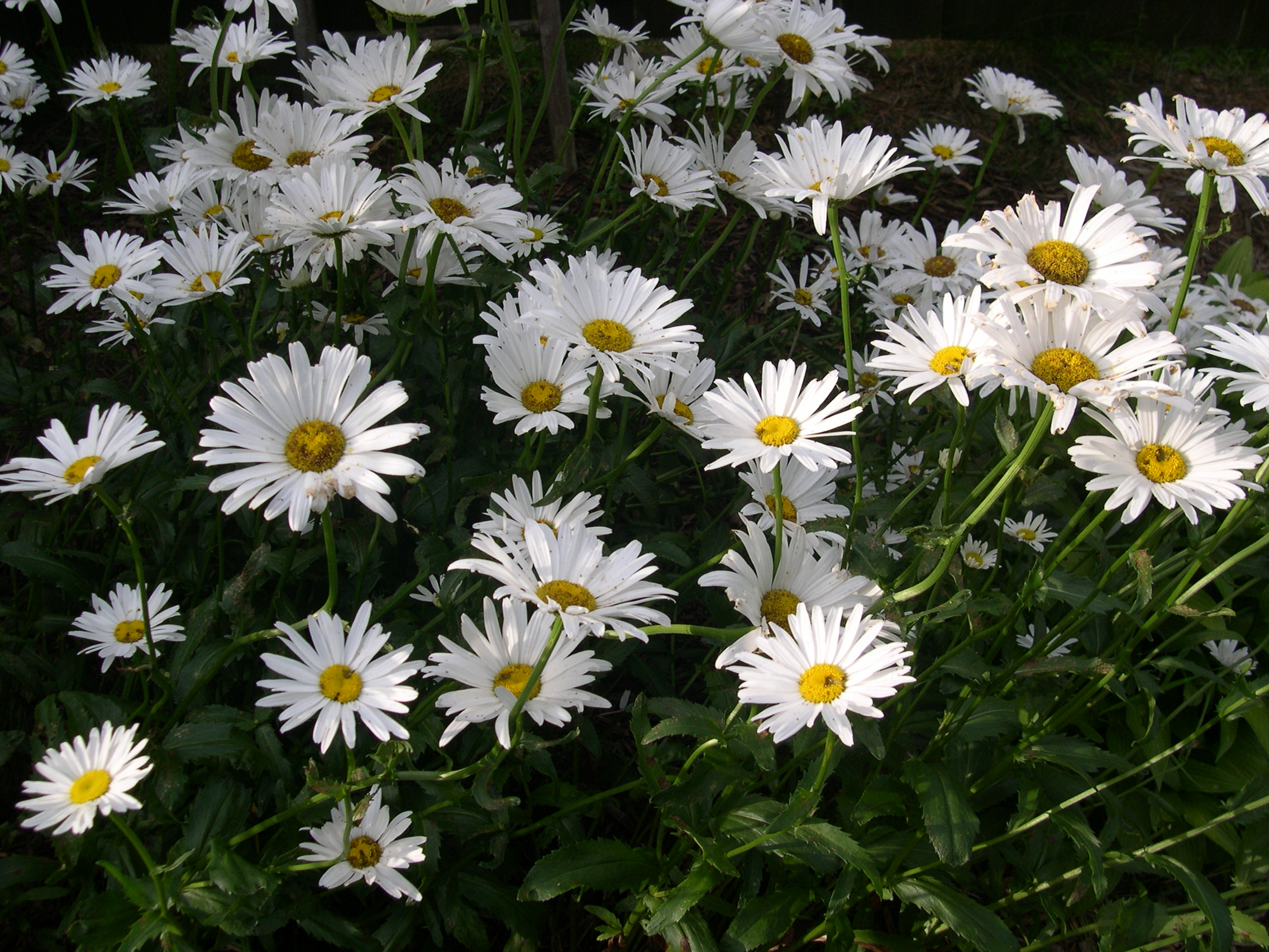 lovely white daisies