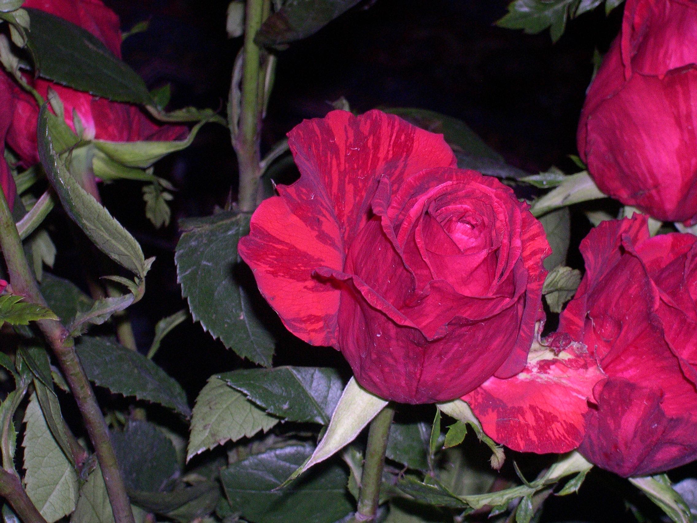 variegated roses
