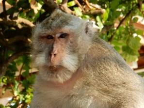 Old man monkey