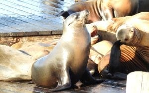 Sea Lions in San Fransisco