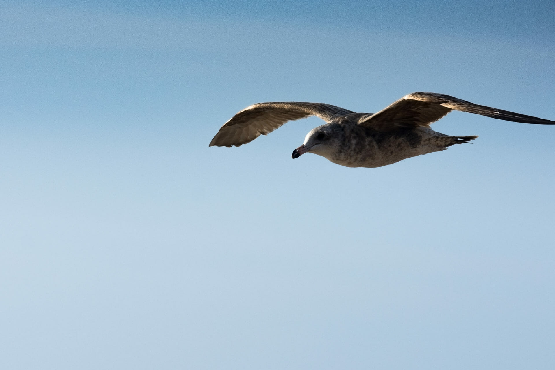 This gull gets to enjoy a free ride on the wind!