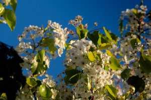 In full bloom in Rancho Bernardo