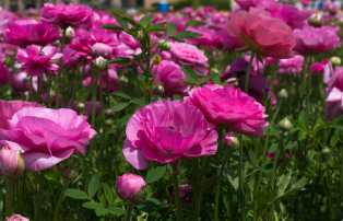 Pink Ranunculus are looking happy!