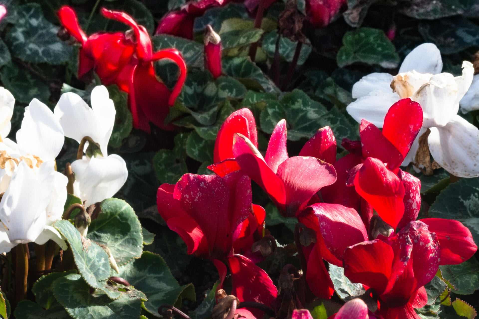 Red and white - lovely sight in La Costa