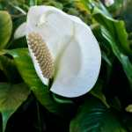 Friday Fotos – Timeless beauty, a white lily in Honolulu