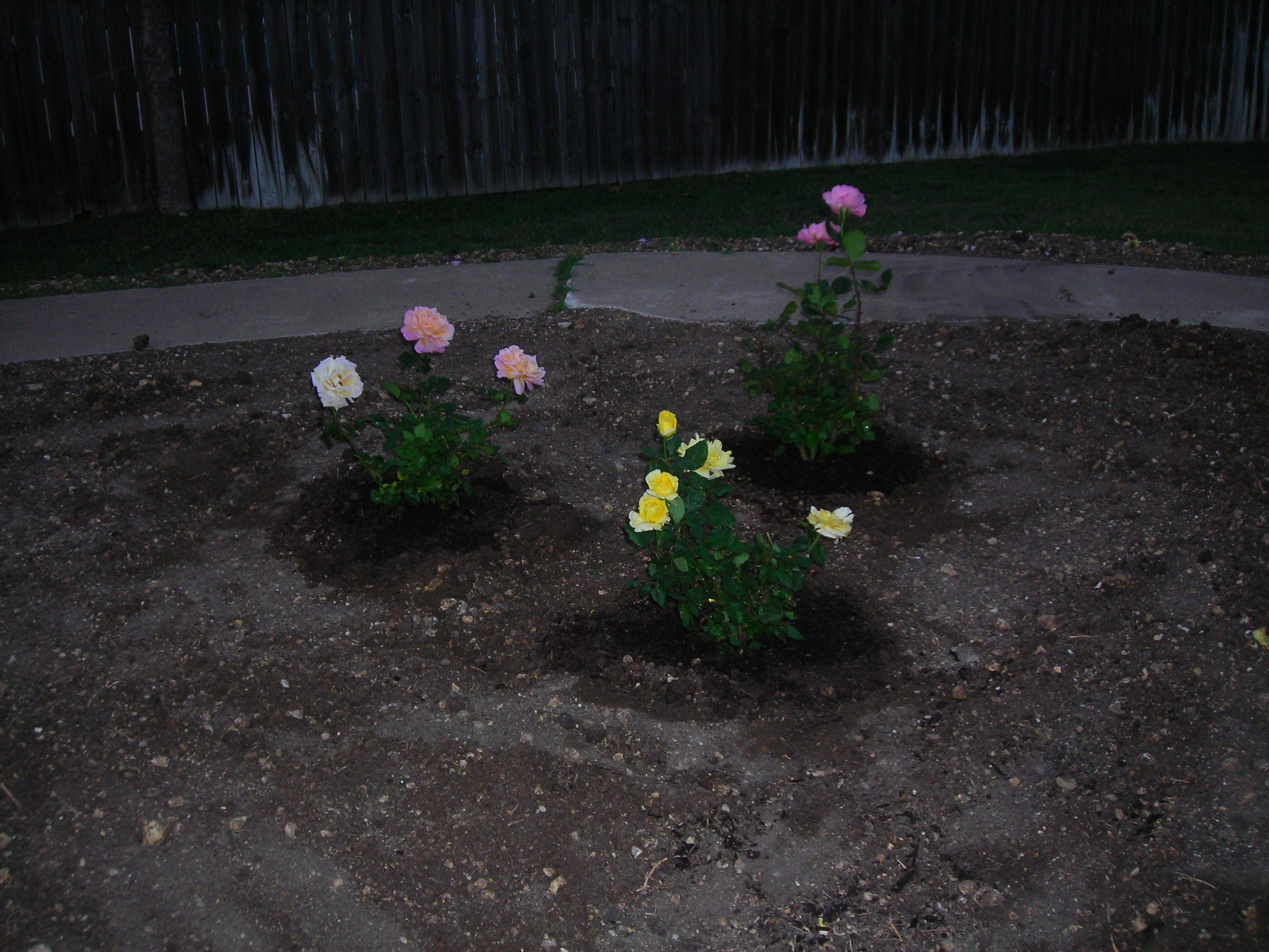 my three little rose bushes ... for alan, tara and matt