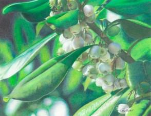 """Mistletoe"" 8.5 x 11 Colored Pencil on Bristol Vellum"