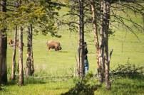 Ed Ritterbush photographing bison at Yellowstone National Park.