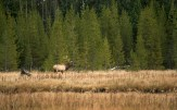 Bull Elk along the Madison River.