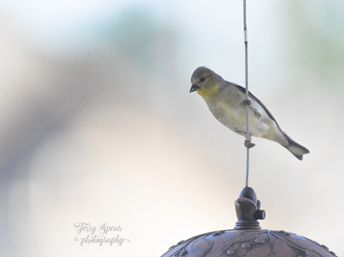 goldfinch-900-025