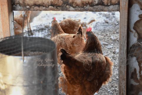 hens-leaving-the-hen-house-900-750