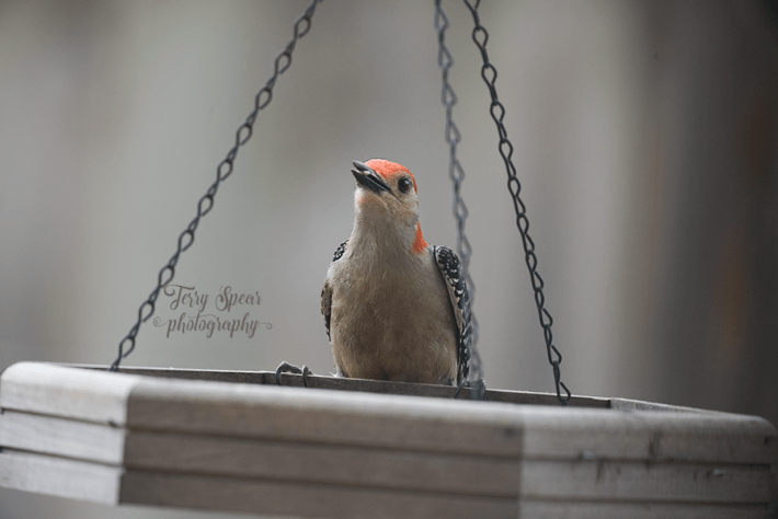 red bellied woodpecker, close up with beak full of seeds 900 003