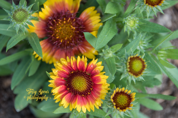 blanket flower, all stages 900 008