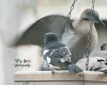 ruby-throated grosbeak and doves flapping wings 900 2903