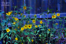 sunflowers blue hour 900 010