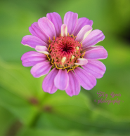 zinnia from seed 900 049