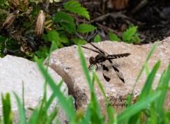 dragonfly 900 075
