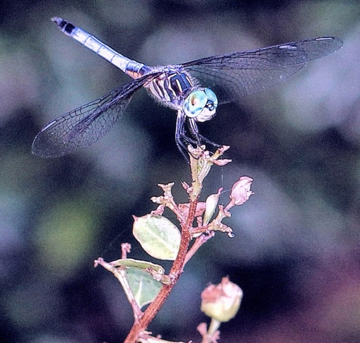 blue dragonfly2 all blue (800x763)