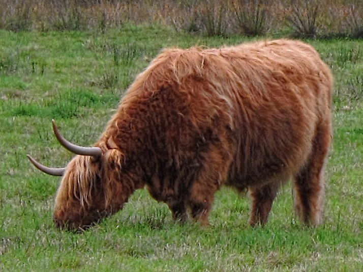 Highland cow detail