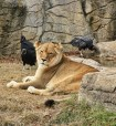 Lioness and Vultures (588x640)