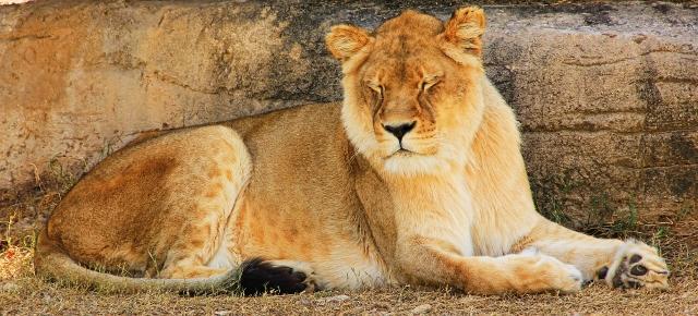 Lioness boost (640x290)