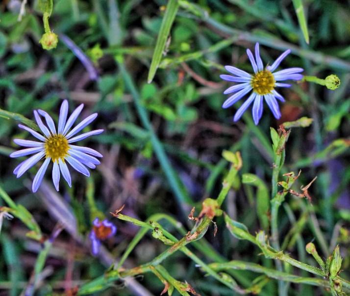 Shasta daisies 005 (800x676)