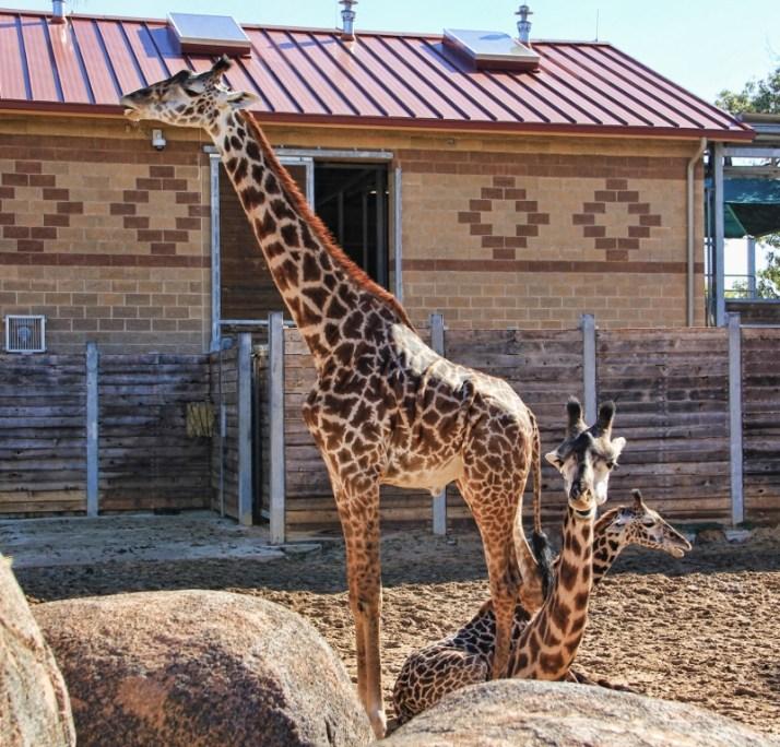 3 giraffes (800x767)