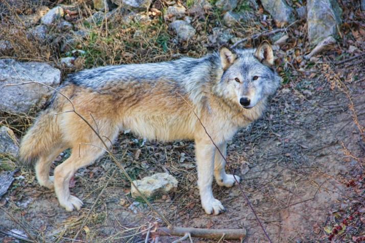 female wolf close up