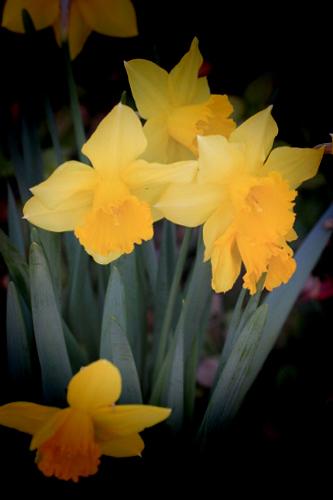 daffodil fun 500