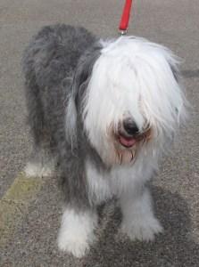 Old English sheepdog, Boomer