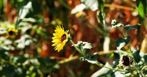sunflower stretching out2 (640x338)