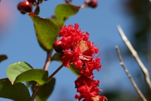 red crepe myrtle (3) (640x427)
