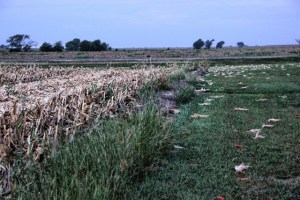cornfields cut down 006 (640x427) copy