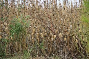 cornfields, haunted style 006 (640x427)