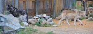4 wolves, Luna looking at me (640x240)