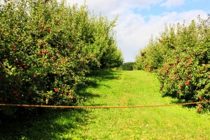 rows of apple trees (640x427)