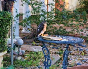 hawk on feeder 010 (640x505)