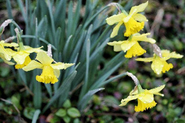 Rain Drenched Daffodils