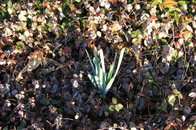 daffodils before blooming (640x427)