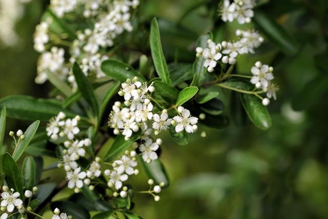 ligustrum, privet flowers (640x427) copy