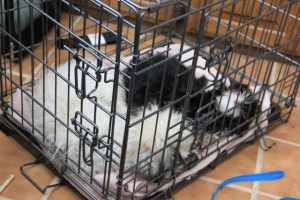 puppies sleeping in crate 014 (640x427)