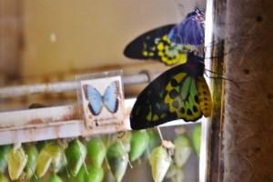 Butterflies Hatchery