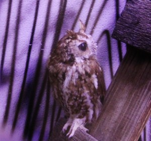 Owl, small Cameron Park Zoo (640x597)