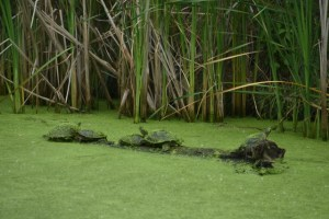 Turtles and the wetlands