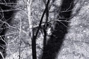 black wolf in shadows (800x534) bw blue portrait