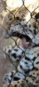 tired jaguar (285x640)